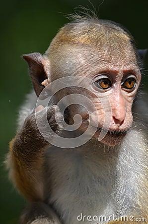 Free Wild Macaque Stock Image - 39385791