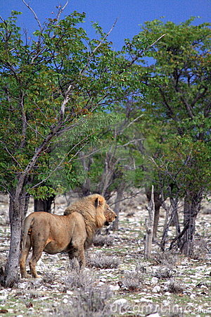 Wild male african lion namibia