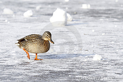 Wild mallard duck walking on ice in the winter