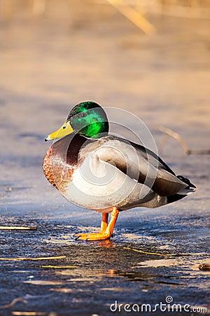Free Wild Mallard Ducks Sitting In Lake Ice. Royalty Free Stock Images - 37646989