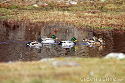 Wild Mallard Ducks In Ths Spring Time