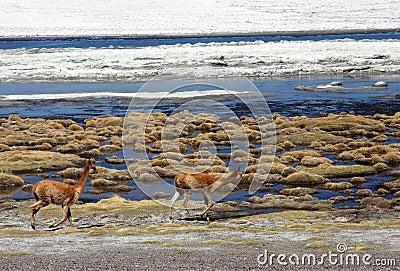 Wild mammals running in bolivian desert