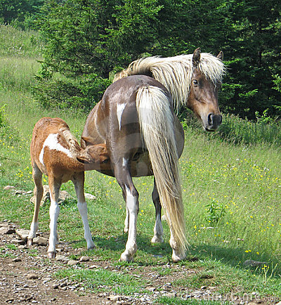 Free Wild Mare With Foal Nursing Royalty Free Stock Photography - 1267467