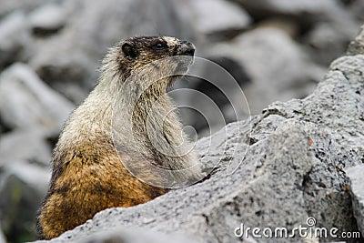 Wild marmot on rocks