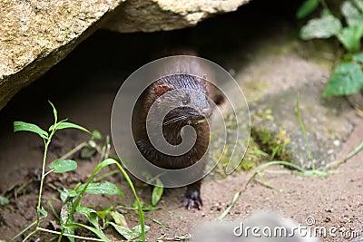 Wild mink (mustela vison).
