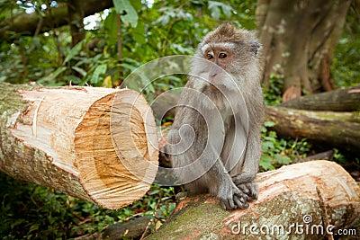 A wild Monkey