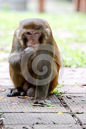 Free Wild Monkey Winking With One Eye While Eating Orange Stock Photo - 116443840