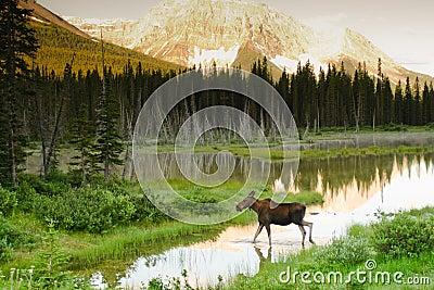 Wild Moose