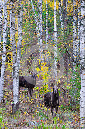 Wild moose in autumn forest