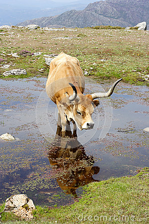 Free Wild Mountain Cow Royalty Free Stock Images - 28682089