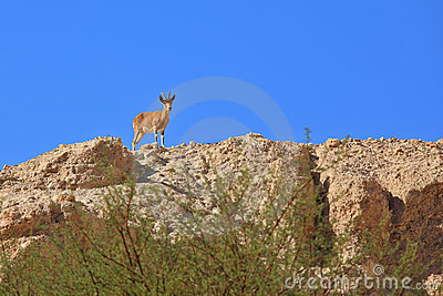 Wild mountain goat on the ancient mountains
