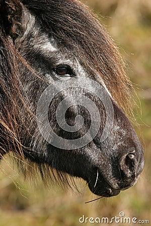 Wild Mountain Pony