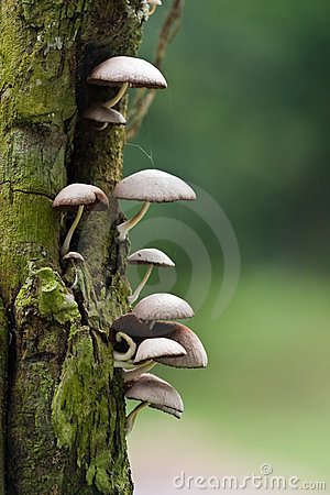 Free Wild Mushroom Royalty Free Stock Images - 13225189