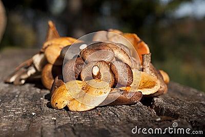 Wild mushrooms..