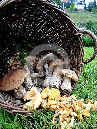 Free Wild Mushrooms: Chantarelle Und Boletus Stock Images - 103310264