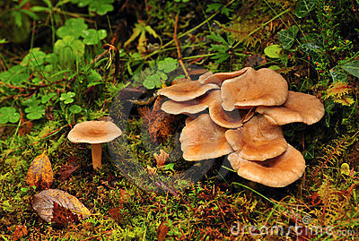 Wild mushrooms (Clitocybe squamulosa)