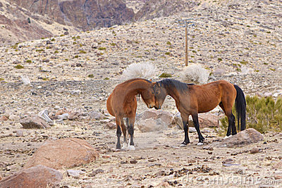 Wild Mustang Face Off