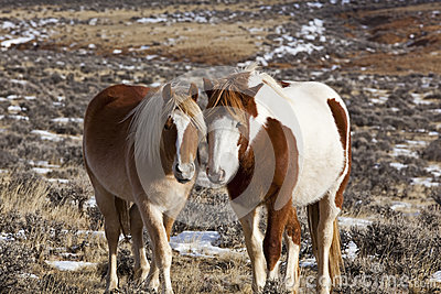 Wild mustang mare with colt