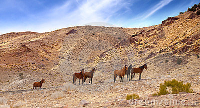 Wild Mustangs on Road