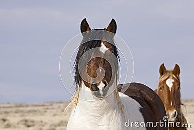 Wild Mustangs Watching