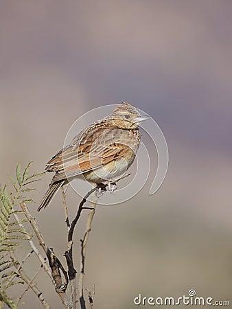 Wild naped naturlig rufus för fågellivsmiljö lark