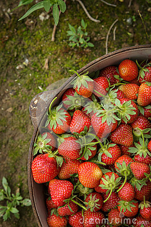 Free Wild Natural Red Strawberries, Strawberry In Rustic Iron Pot Royalty Free Stock Photo - 41103055