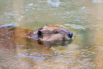 Wild North American Beaver in Ice Pond