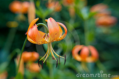 Wild orange Turks Cap Lily