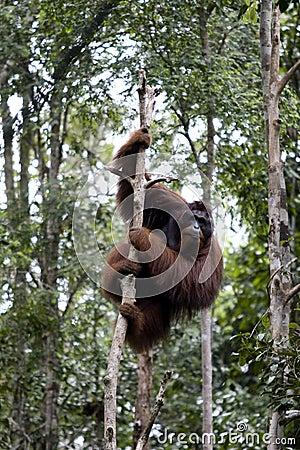 Free Wild Orangutan, Borneo Stock Photos - 9803013