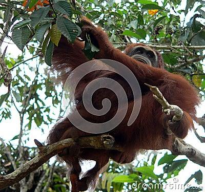 Wild Orangutan, Central Borneo