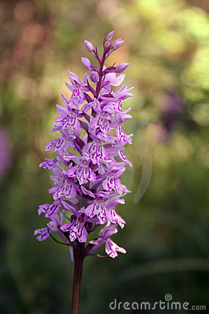 Free Wild Orchid Stock Photography - 6369612