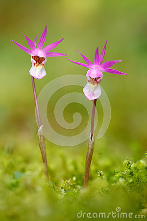 Free Wild Orchid From Finland. Calypso Bulbosa, Beautiful Pink Orchid. Flowering European Terrestrial Wild Orchid, Nature Habitat, Deta Stock Photography - 95609352