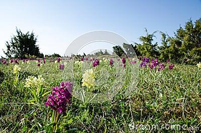 Wild orchids field