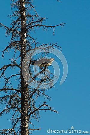Wild Osprey