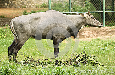 Wild ox in zoo