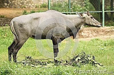 Wild ox in zoo