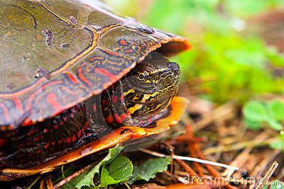 Wild Painted Turtle Hiding In Shell