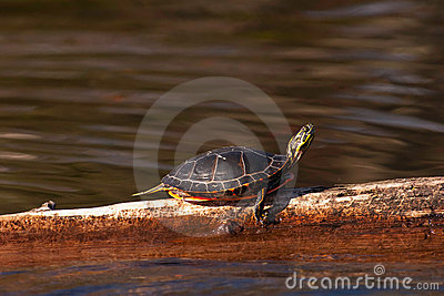 Wild Painted Turtle Sunning Himself On Log