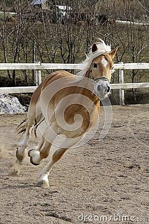 A wild Palomino Horse