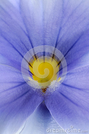 Free Wild Pansy Viola Tricolor Royalty Free Stock Images - 87509679