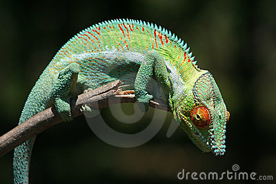 Wild panther chameleon of Madagascar