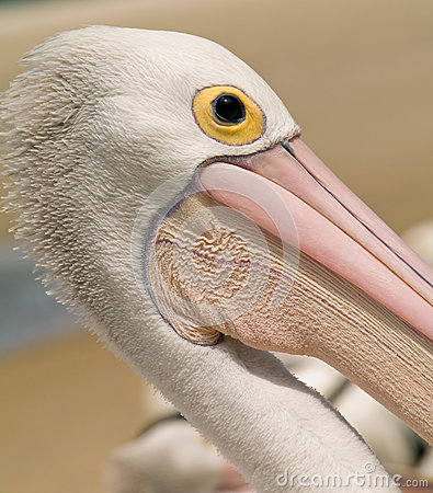 Wild Pelican Head In Australia