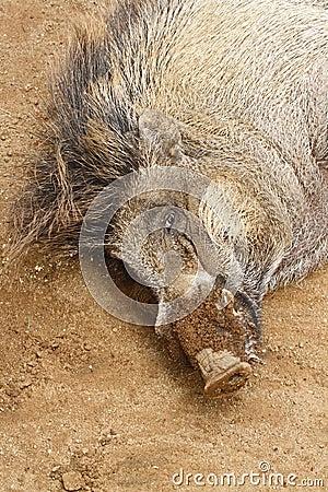 Free Wild Pig Stock Photography - 48963832