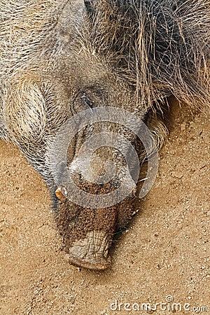 Free Wild Pig Royalty Free Stock Image - 48963926