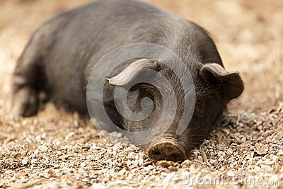 Wild pig lying
