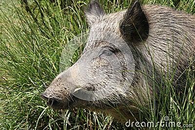 Wild pig sleeping in the sun