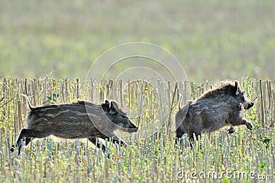 Wild piglets running