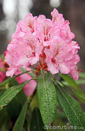 Wild Pink Rhododendrons