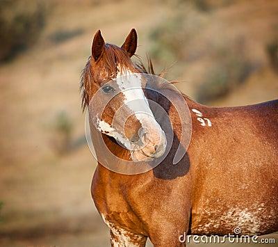 Wild pinto horse