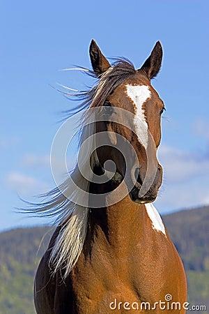 Free Wild Pinto Horse Royalty Free Stock Photos - 35370838
